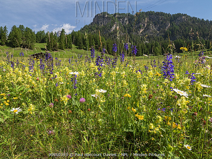 Species rich alpine meadow with flowers including Meadow clary (Salvia pratensis), Yellow rattle (Rhinathus sp), Oxeye daisy (Leucanthemum vulgare), Clover (Trifolium sp) and Bird's-foot trefoil (Lotus sp). Mountain in background, Fassa Valley, Dolomites, Italy. June 2019.
