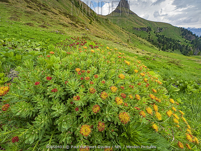 Roseroot (Rhodiola rosea) in grassland, mountains in background. Near Ciampac, Fassa Valley, Dolomites, Trentino, Italy. June 2019.