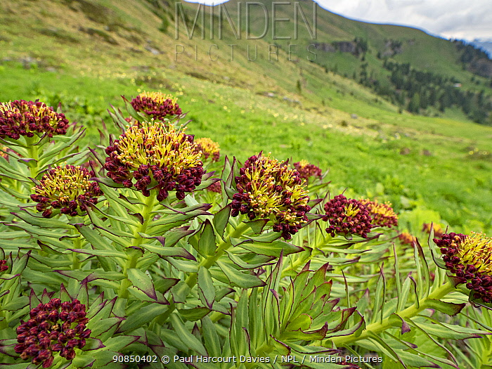 Roseroot (Rhodiola rosea), mountains in background. Near Ciampac, Fassa Valley, Dolomites, Trentino, Italy. June 2019.