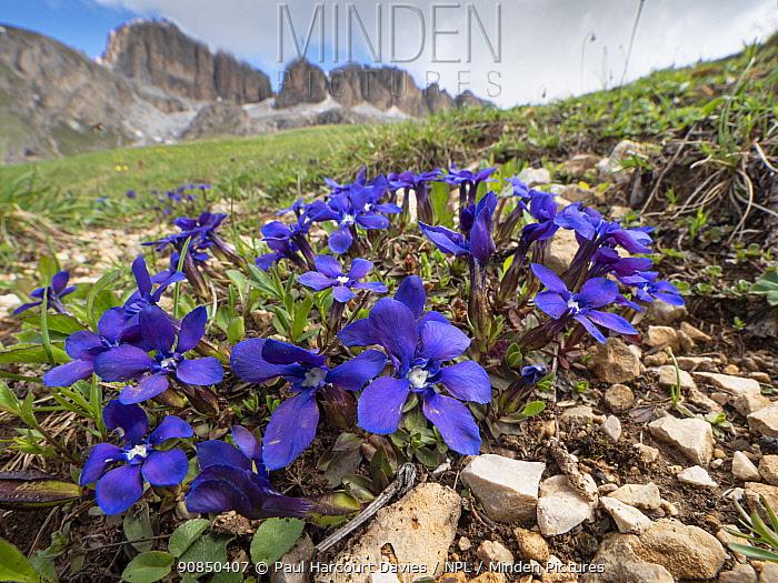 Bavarian gentian (Gentiana bavarica), mountains of Dolomites in background. Near Colfosco, Badia, South Tyrol, Italy. June.