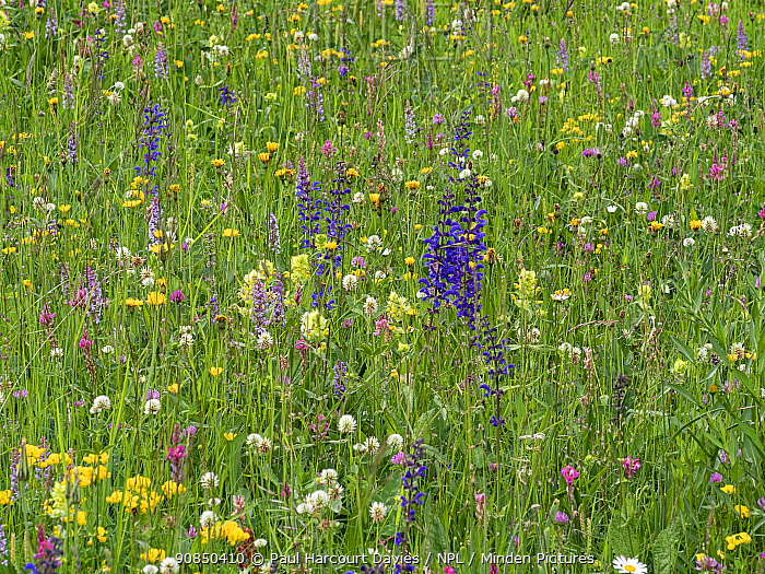 Species rich alpine meadow with flowers including Meadow clary (Salvia pratensis), Yellow rattle (Rhinathus sp), Sainfoin (Onobrychis arenaria), Bird's-foot trefoil (Lotus sp), Clover (Trifolium spp) and Orchid (Orchidaceae). Dolomites, Italy. June.