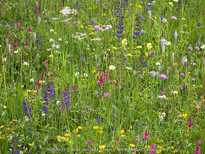 Species rich alpine meadow with Sainfoin (Onobrychis arenaria), Meadow clary (Salvia pratensis), Oxeye daisy (Leucanthemum vulgare) and Hoary plantain (Plantago media). Dolomites, Italy. June.