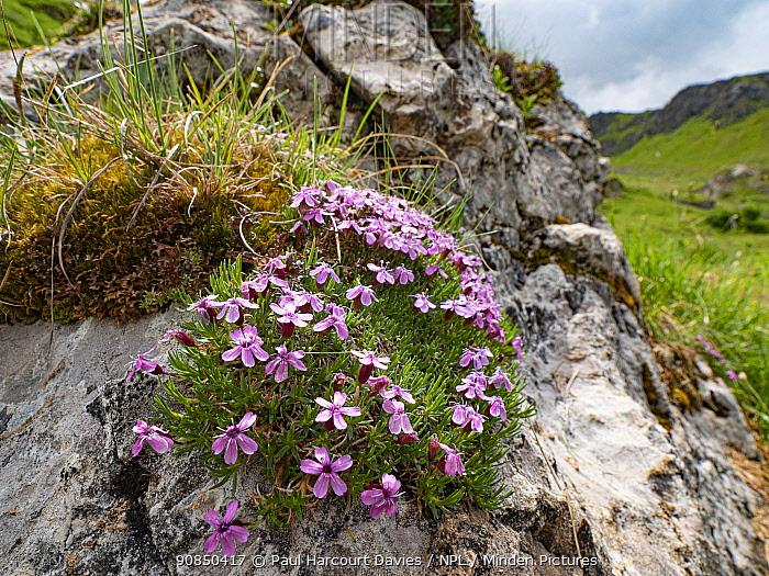 Moss campion (Silene acaulis) on rocky outcrop. Dolomites, Italy. July.
