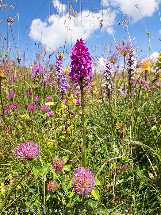 Alpine meadow with Hybrid vanilla orchid (Gymnadenia x suaveolens), a hybrid between Fragrant orchid (Gymnadenia conopsea) and Black vanilla orchid (Gymnadenia rhellicani). Seiser Alm / Alpe di Siusi, Dolomites, South Tyrol, Italy. July.