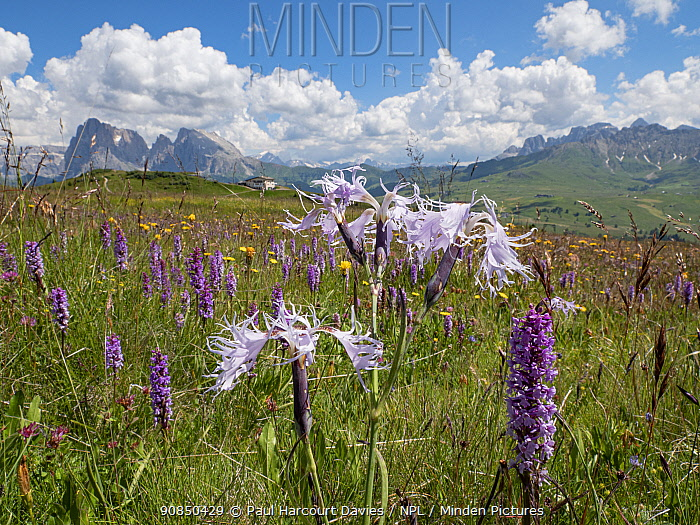 Fringed pink (Dianthus superbus alpestris) flowering in alpine meadow amongst Fragrant orchid (Gymnadenia conopsea). Seiser Alm / Alpe di Siusi with view to mountains, Dolomites, South Tyrol, Italy. July.