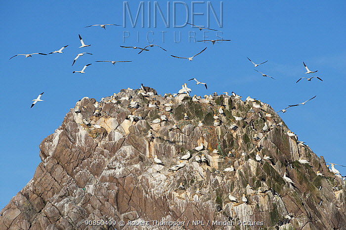 Gannets (Morus bassanus) flock flying, Makestone Islet, Great Saltee Island, Great Salteee Island, Co. Wexford, Ireland, May