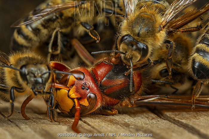 Honey bees (Apis mellifera) attacking a hornet (Vespa crabro). Honeybees survive a 1 degree Celsius higher body temperature than hornets. When they attack the hornet, they cover it, heat their own bodies as much as they can and overheat the hornet. After half an hour, the hornet is dead. The ball dissolves and the Hornet is carried away from the hive. Germany.
