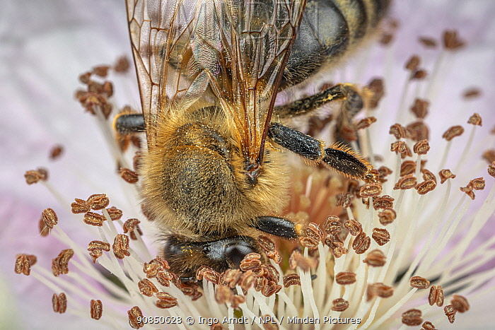 Honey bee (Apis mellifera) brushing against the anthers of a Blackberry (Rubus fruticosus) flower to feed, Germany. June.