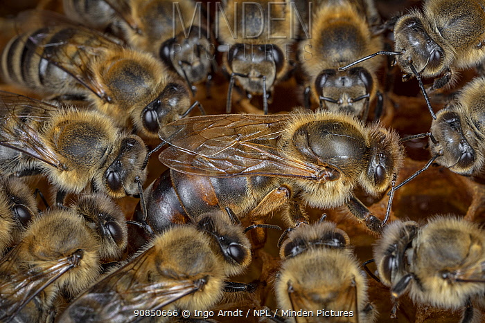 Honey bee (Apis mellifera), queen surrounded by her court, laying eggs on the broodcomb, Germany.