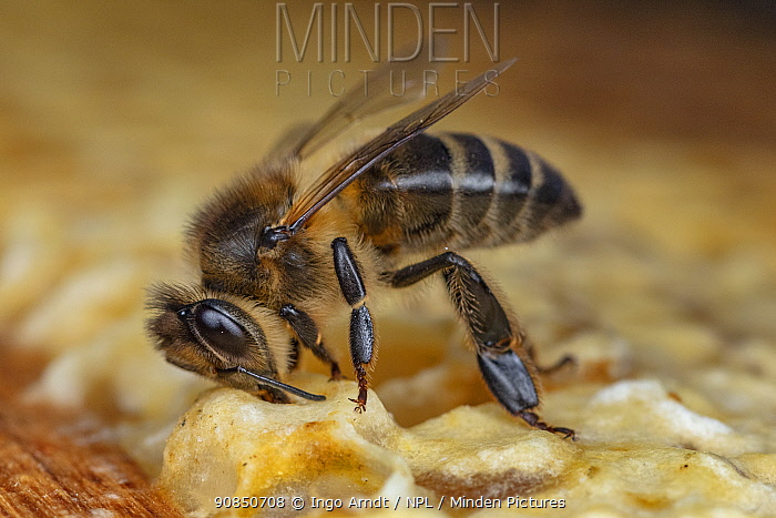 Honey bee (Apis mellifera Iberiensis) worker on honeycomb, opening honey cell, native to Spain (photo taken at LWG Wuerzburg, Germany).