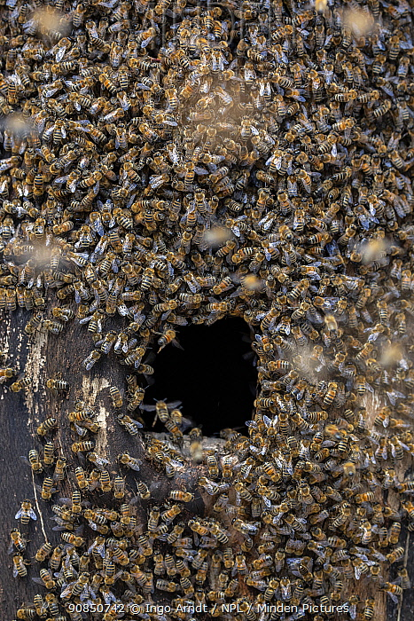 Honey bee (Apis mellifera) colony beginning to establish a hive inside an old black woodpecker nest cavity as viewed from outside, Germany