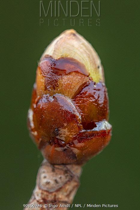 Chestnut bud (Aesculus hippocastanum), used by Honeybees (Apis mellifera) in making propolis or 'bee glue', Germany