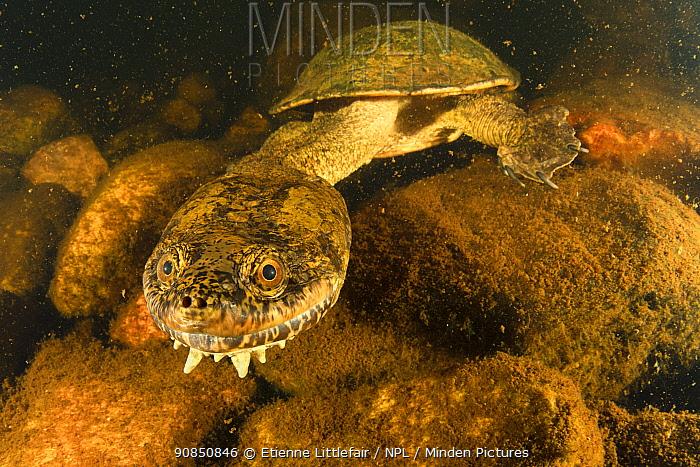 Sandstone long-necked turtle (Chelodina burrungandjii) actively foraging at night, Pentecost River, Western Australia. April.