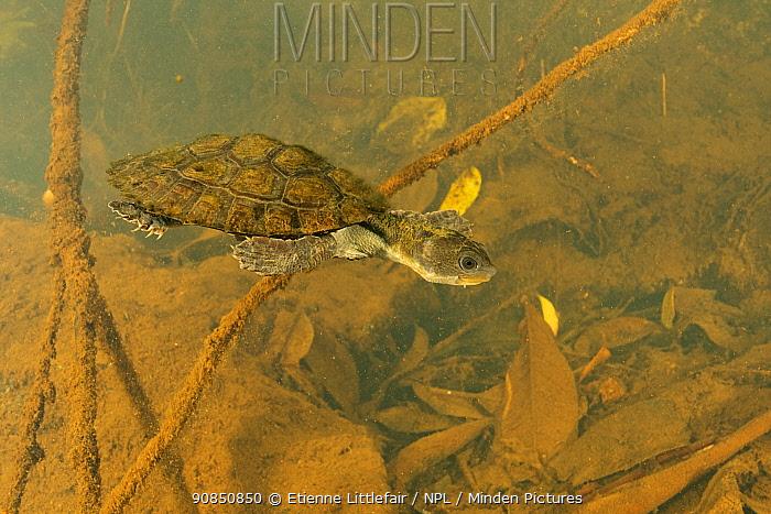 Irwin's turtle (Elseya irwini), juvenile swimming through submerged vegetation downstream of a riffle zone, North Johnstone River, downstream of Malanda, Far North Queensland, Australia. August. Cropped.