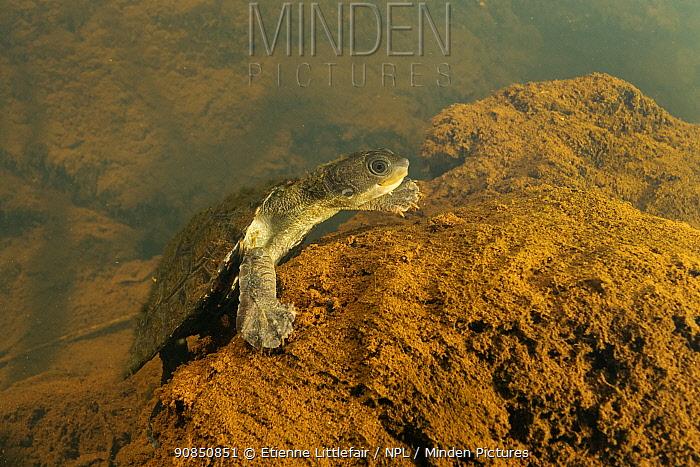 Irwin's turtle (Elseya irwini), juvenile resting downstream of a riffle zone, North Johnstone River, downstream of Malanda, Far North Queensland, Australia. August. Cropped.