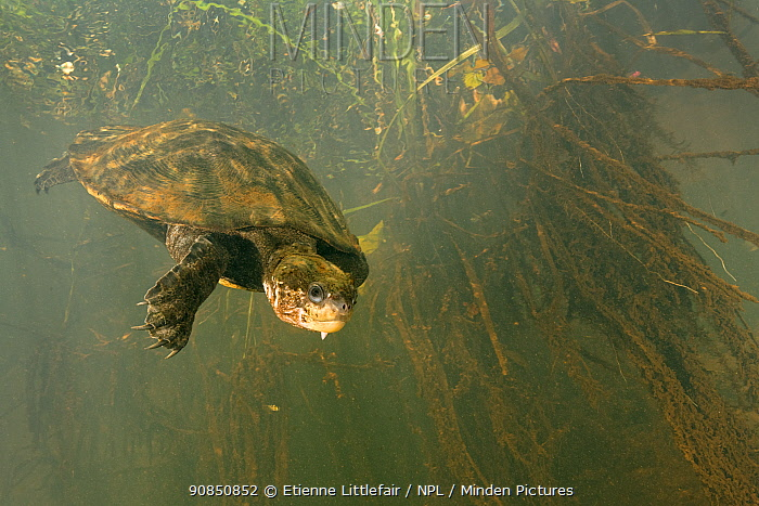 Irwin's turtle (Elseya irwini), large adult female returning to deeper water after surfacing for a breath, North Johnstone River, downstream of Malanda, Far North Queensland, Australia. August.
