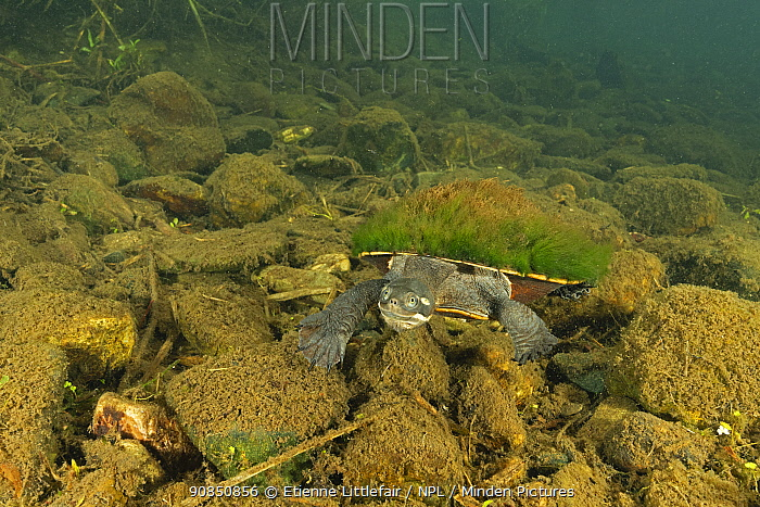 Krefft's river turtle (Emydura macquarii krefftii), juvenile with carapace covered in algae, actively moving along riverbed of the Mary River, Queensland, Australia. August.