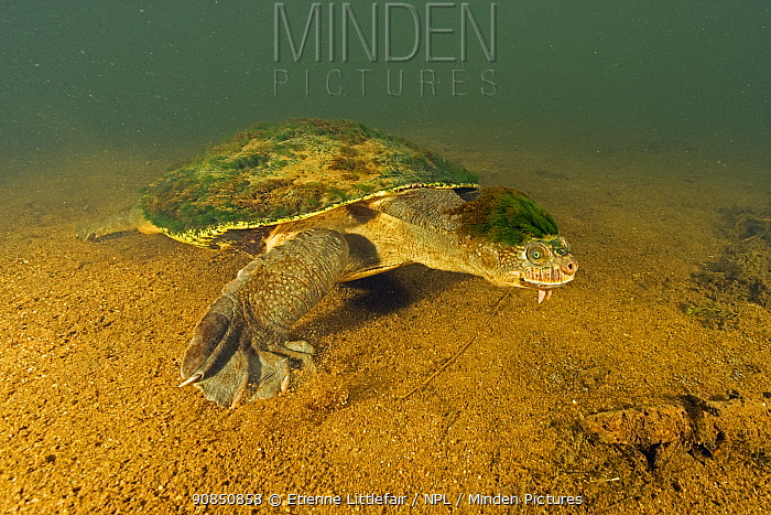 Mary river turtle (Elusor macrurus), adult male walking along riverbed, with algae attached to his head, Mary River, Queensland, Australia. August. Cropped.