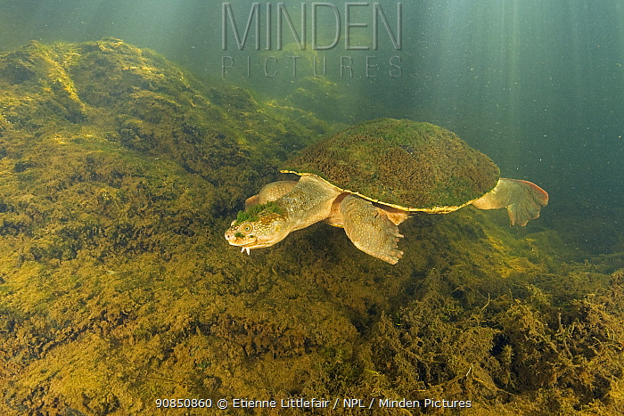 Mary river turtle (Elusor macrurus), adult male swimming after becoming aware of the photographer, Mary River, Queensland, Australia. August.