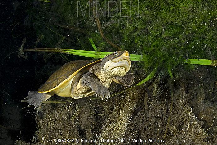 Worrell's turtle (Emydura subglobosa worrelli), adult swimming through the darkness underneath a large overhanging creek bank, Katherine Region, Northern Territory, Australia. December.