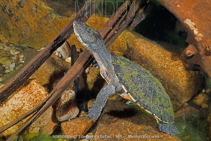 Saw-shelled turtle (Myuchelys latisternum) at rets, Arnhem escarpment creek, Northern Territory, Australia. May.