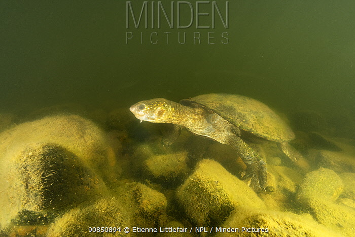 White-throated snapping turtle (Elseya albagula), adult female with cataracts, found active, walking along the bottom of a rocky area in the Connors River, Queensland, Australia. August.