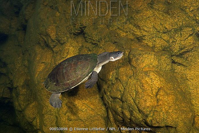 Yellow-bellied snapping turtle (Elseya flaviventralis) swimming along rock wall, Arnhem Escarpment Creek, Northern Territory, Australia. June.