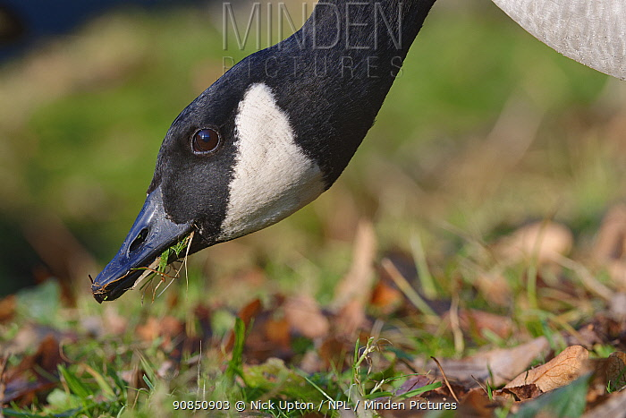 Canada goose (Branta canadensis) foraging on the grassy margins of a lake, Wiltshire, UK, December.