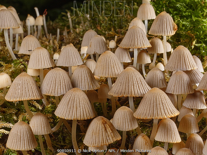 Fairies' bonnets / Fairy inkcap fungi (Coprinellus disseminatus) clump growing on a rotting tree trunk by a woodland stream, GWT Lower Woods, Gloucestershire, UK, September.
