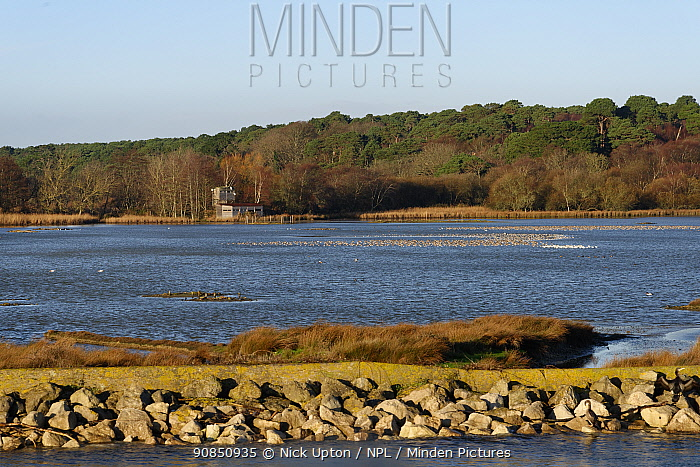 Wading birds, mostly Black-tailed godwits (Limosa limosa) and Avocets (Recurvirostra avosetta) roosting in a shallow lagoon at high tide overlooked by a bird hide, Brownsea Island, Poole Harbour, Dorset, UK, December.