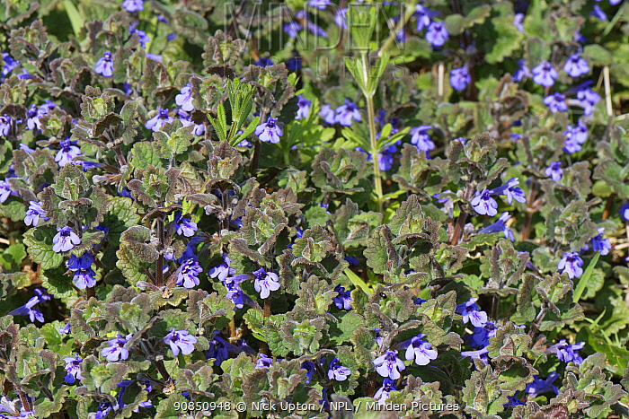 Ground ivy (Glechoma hederacea) flowering in a dense clump on the margin of a chalk grassland meadow, Wiltshire, UK, April.