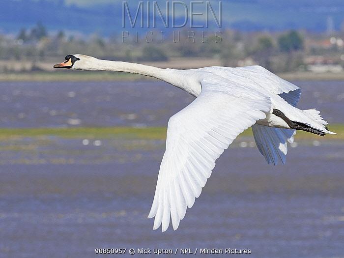 Mute swan (Cygnus olor) cob flying over flooded salt marshes bordering the River Severn estuary at high tide, Gloucestershire, UK, February.