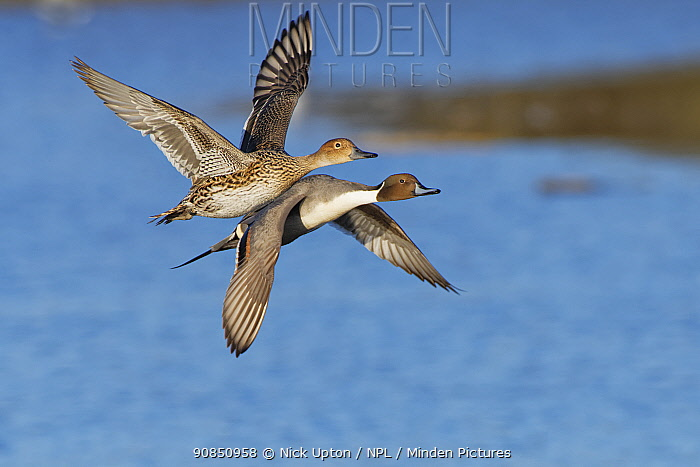 Northern pintail (Anas acuta) pair in flight over a marshland pool at dusk, Gloucestershire, UK, February.