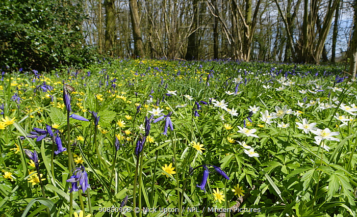 Bluebells (Hyacinthoides non-scripta), Lesser celandines (Ranunculus ficaria) and Wood anemones (Anemone nemorosa) flowering in profusion in woodland understory, Wiltshire, UK, April.