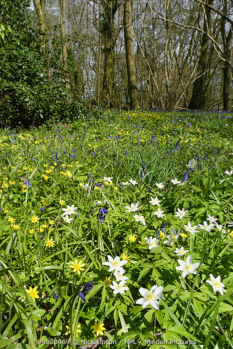 Wood anemones (Anemone nemorosa), Lesser celandines (Ranunculus ficaria) and Bluebells (Hyacinthoides non-scripta) flowering in profusion in woodland understory, Wiltshire, UK, April.