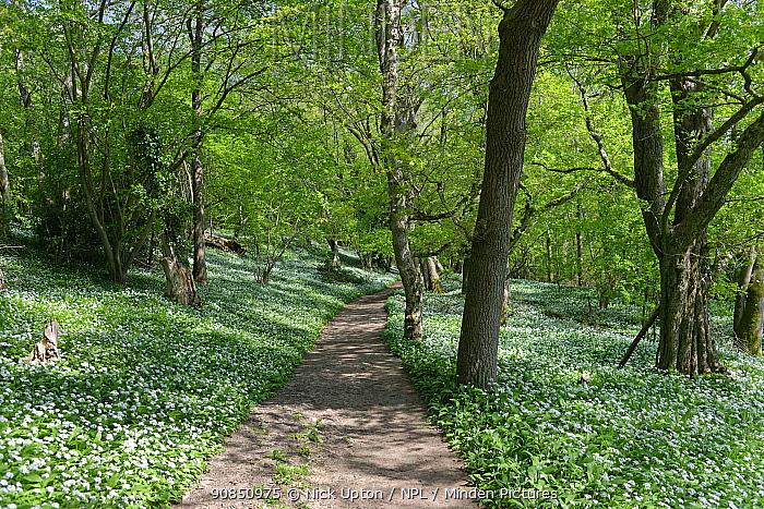 Footpath through woodland carpeted with Wild garlic / Ramsons (Allium ursinum), Wiltshire, UK, April 2020.