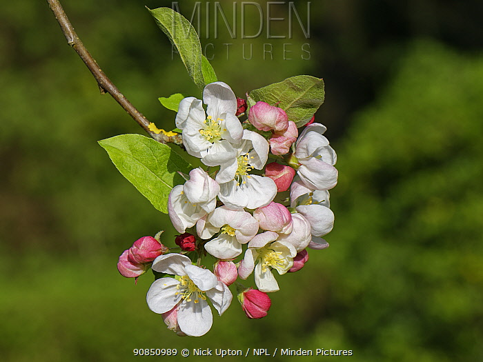 Crab apple (Malus sylvestnis) tree flowers in a garden, Wiltshire, UK, April.