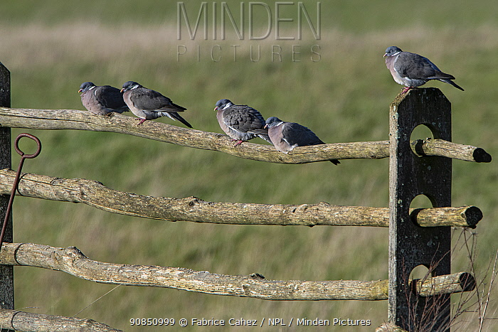 Common wood pigeon (Columba palumbus) group perched on fence, France, March.