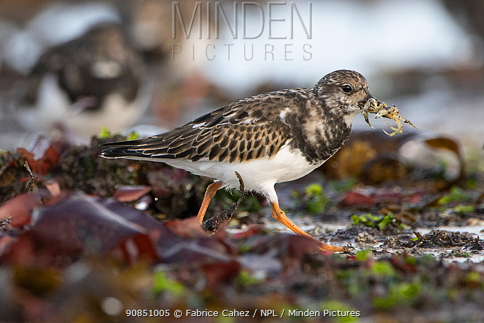 Ruddy turnstone (Arenaria interpres) Brittany, France, October.