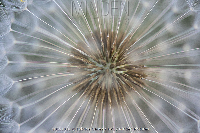 Dandelion (Taraxacum officinale) close up of seed head in dew, Vosges, France, April.