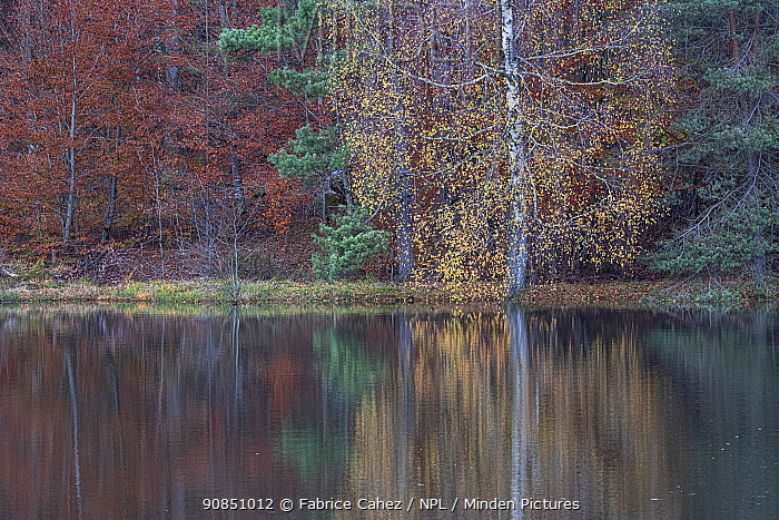 Forest pond in autumn, Vosges, France