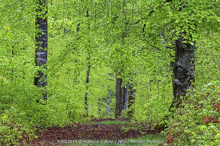 Beech (Fagus sylvatica) forest at spring, Vosges, France, April.