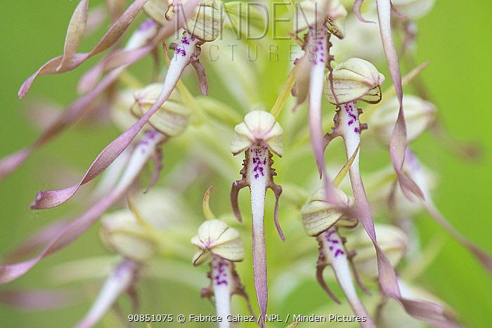 Lizard orchid (Himantoglossum hircinum) close up of flowers, France. May.