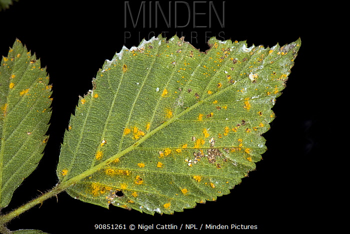 Blackberry rust (Kuehneola uredinis) lesions and orange spores on the underside of a Bramble (Rubus fructicosus) leaf, Berkshire, England, UK, May