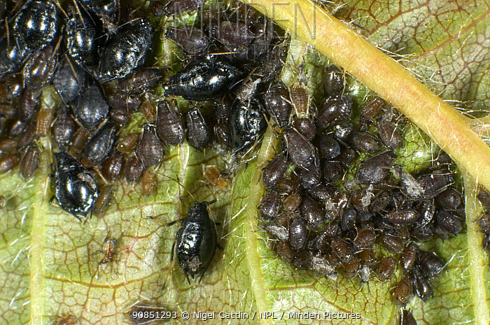 Photomicrograph Black cherry aphid / Cherry blackfly (Myzus cerasi) infestation on wild cherry leaf, Berkshire, England, UK, May