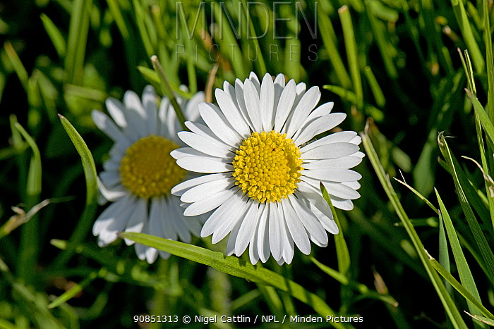 Flower of a Common daisy (Bellis perennis) with white ray and yellow disc florets growing in a garden lawn, Berkshire, England, UK, April ,