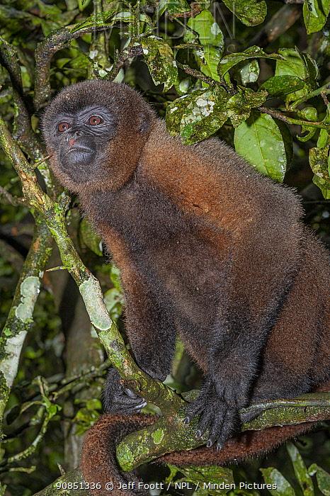 Mantled howler monkey (Alouatta palliata) in tree, portrait. Ecuador.