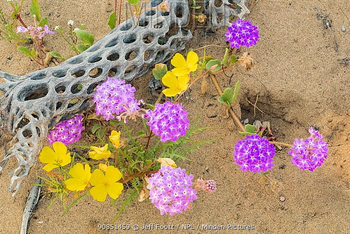 Desert sand verbena (Abronia villosa) and Poppy (Eschscholzia sp) flowering alongside skeletal Cholla (Cylindropuntia sp). Northern Baja California, Mexico.