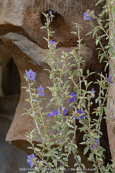 Sonoran stegnosperma (Stegnosperma halimifolium). Catavina, Valle de los Cirios Reserve, Baja California, Mexico.