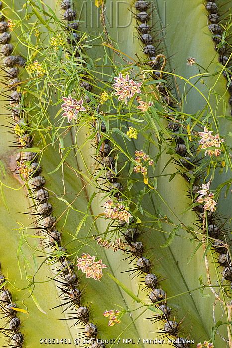 Climbing milkweed (Funastrum cynanchoides) on Mexican giant cardon cactus (Pachycereus pringlei). Catavina, Central Baja California, Mexico.